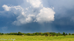 The calm before the storm (snypper@rogers.com) Tags: horses ontario storm clouds fluffy thunderstorm powerful thunder grazing pickering cumulonimbus fluffyclouds impendingstorm cumulonimbusclouds powerfulthunderstorm grazinghorses pickeringontario theclambeforethestorm rogerlebuffe
