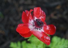 DSC02932 (Old Lenses New Camera) Tags: flowers plants macro garden sony miranda f28 52mm macron a7r