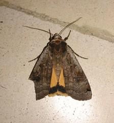 Seleco natural (LuPan59) Tags: insectos fauna insects borboletas lupan59