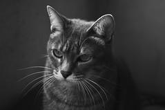 Sparta (joeovario) Tags: gatos animales sparta d700