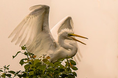 _80A0185-98-Edit (cynaZZam photOGraphy) Tags: pink white galveston nature birds canon outdoors texas sanctuary avian spoonbills egrets highisland cynazzam
