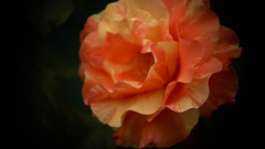 A rose for the Mother Day (omegaz63400) Tags: nature rose day photographer pentax mother mothers auvergne k50