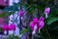 """""""Lady in the Bath"""" flowers aka """"Bleeding Hearts"""" (twinkleinmyeye) Tags: pink flowers plants color macro green canon landscape spring purple bokeh magenta blooms blooming macroflowers bleedinghearts macroflower ladyinthebath macroplants"""