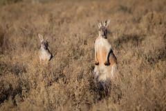 Red Kangaroos (robertdownie) Tags: new red wild grass animal wales mammal wildlife south australia rufus kangaroo nsw outback grassland marsupial macropus