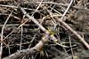 Canada Warbler (jd.willson) Tags: canada nature birds wildlife birding maine jd warbler willson islesboro jdwillson