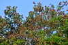 Adenanthera pavonina tree laden with pods_Ratan gunj_Mimosaceae_Pherozeshah Mehta_2016-05-06_(1) (Shubhada Nikharge) Tags: tree native deciduous indigenous hanginggarden mimosaceae redbeadtree indianflora mumbaiflora adenanthera coralwood badigumchi redsandalwood adenantheragersenii adenantherapolita corallariaparvifolia nativetoindia floraofmumbai adenantherapavoninaratangunj pherozeshahmehtagarden बड़ीगुम्ची थोरलागुंज thorlagoonj thorligunj