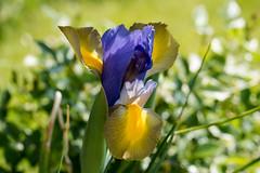 Iris (riesebusch) Tags: berlin garten marzahn