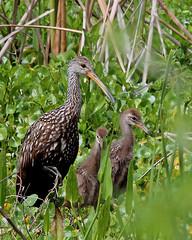 Limpkin (Aramus guarauna) (Mary Keim) Tags: centralflorida orlandowetlandspark taxonomy:binomial=aramusguarauna marykeim