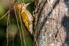 picapauzinho-de-testa-pintada (Veniliornes maculifrons) (Ana Carla AZ) Tags: piciformes aves lugares picidae rj picapauzinhodetestapintada veniliornesmaculifrons lidice birds picapaus