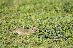 Souslick d'Europe (Didier-31) Tags: animal rodentia roumanie sciuridae mammifres vertbr souslikdeuropespermophiluscitellus