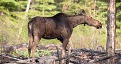 Long Necking (TofteTom) Tags: nature minnesota wildlife moose northshore northwoods wildlifephotography alcesalces minnesotamoose