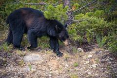 The Forager (Wayne Stadler Photography) Tags: bear travel wild canada black nature rockies bears parks alberta wilderness blackbear jaspernationalpark travelrockymountains