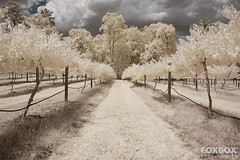 Lakeside-Winery-Infrared_2 (FoxBox Photography) Tags: trees clouds vineyard country winery grapes infrared channel swapped 720nm