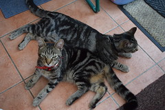 Siesta together ! (Mara 1) Tags: cats pets black animals grey stripes tabby kittens indoors fawn