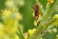 DSCF7309 (faki_) Tags: insect fuji fujifilm 24 60 250 dcr rovar xe1 raynoxdcr250 fujinonxf60mmf24rmacro