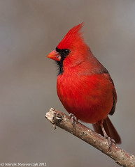 Northern cardinal (v4vodka) Tags: newyork bird nature animal cardinal wildlife birding longisland birdwatching cardinaliscardinalis redbird northerncardinal commoncardinal kardynal kardynalek