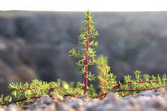 Badtree Badlands (Nchilders88) Tags: tree determination perserverence desert badlands resistant enviroment sand rocks cliff rockface terrain