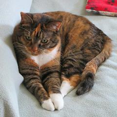 Gracie 12 June 2016 9537Ri sq (edgarandron - Busy!) Tags: cats cute cat gracie feline tabby kitty kitties tabbies patchedtabby
