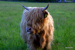 Ginger and pink cheeky cow in Raspberry mode (mootzie) Tags: beast scotlandaberdeen tongue pink hairy ginger highland cow horns field green scottish