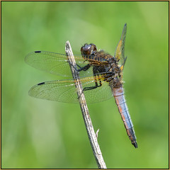 Scarce Chaser (image 1 of 2) (Full Moon Images) Tags: macro male nature insect dragonfly wildlife bcn reserve national trust fen cambridgeshire chaser scarce woodwalton nnr greatfen