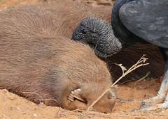 Black Vulture (Coragyps atratus) scavenging on a dead Capybara (Hydrochoerus hydrochaeris) (berniedup) Tags: vulture blackvulture coragypsatratus pantanal capybara hydrochoerushydrochaeris pocon transpantaneira taxonomy:binomial=coragypsatratus taxonomy:binomial=hydrochoerushydrochaeris