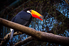 Tucan (Pablo__R) Tags: temaiken animal nature wild naturaleza tucan toucan