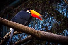 Tucan (Pablo__R) Tags: temaiken animal nature wild naturaleza tucan toucan