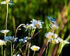 Golden hour wildflowers (hz536n/George Thomas) Tags: summer copyright flower june canon flora bokeh michigan canon5d nik upnorth wildflower prescott goldenhour ogemawcounty cs5 ef300mmf4lisusm