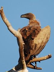 White-backed Vulture (anacm.silva) Tags: africa wild naturaleza nature southafrica wildlife natureza vulture krugernationalpark krugerpark kruger frica whitebackedvulture abutre fricadosul gypsafricanus necrfago