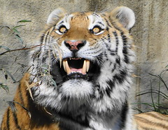Those Teeth ..... Those Eyes (Paula~Koala) Tags: cat stripes tiger siberiantiger bigcats amurtiger clevelandzoo clevelandmetroparkszoo itsazoooutthere flickrbigcats