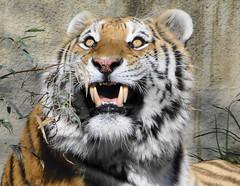 Those Teeth ..... Those Eyes (Paula~Koala) Tags: cat stripes tiger siberiantiger bigcats amurtiger clevelandzoo clevelandmetroparkszoo itsazoooutthere flickrbigcats