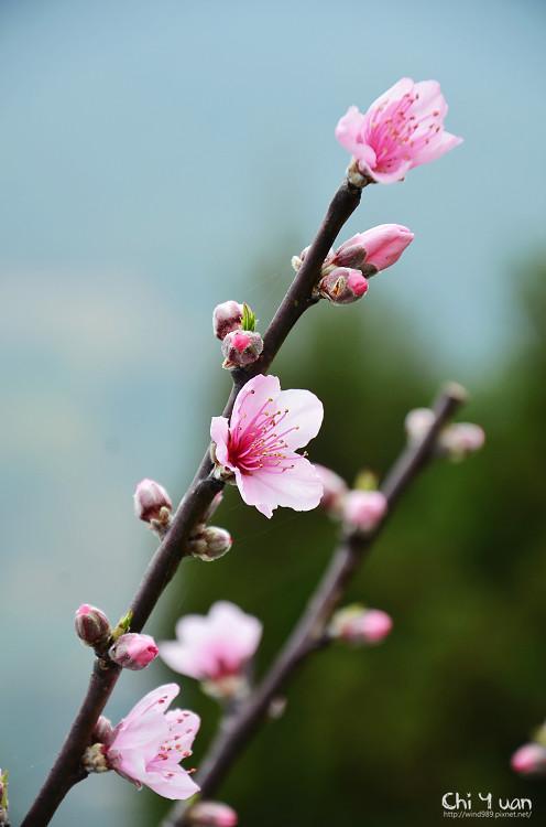 拉拉山水蜜桃花17.jpg