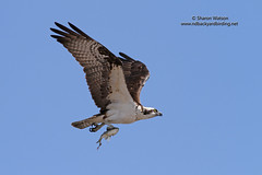 Osprey (Pandion haliaetus) (Sharon's Bird Photos) Tags: fish nature florida wildlife birding flight pandionhaliaetus orland ureosprey gatorkand