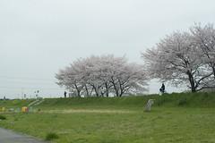 (fl*clover) Tags: spring cherryblossom japaneselandscape   nikond5000  vebcarlzeissjenaflektogon35mmf28