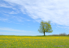 Spring in northern NY. (Russ Sprague) Tags: tree spring dandelions northcountry gouverneur deepvali russxsprague