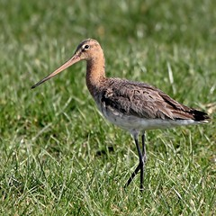 Black Tailed Godwit (Ger Bosma) Tags: bird dutch europe european thenetherlands 97 grutto blacktailedgodwit limosalimosa uferschnepfe agujacolinegra bargequeuenoire pittimareale mygearandme mygearandmepremium mygearandmebronze mygearandmesilver dblringexcellence flickrstruereflection1 flickrstruereflection2 img362731b
