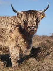 Curbar Cattle Three (MTB1975) Tags: nature animal derbyshire nationaltrust curbargap highqualityanimals