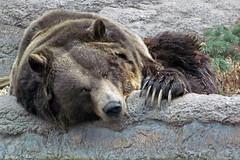 Grizzly Bear (njchow82) Tags: bear portrait nature animal closeup wildlife grizzly calgaryzoo grizzlybear specanimal worldofanimals nancychow canonpowershotsx30is takenbehindglasswindow fearsomeclaws relaxingandreadyforanap
