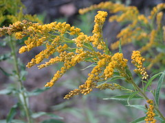 flowers plants goldenrod