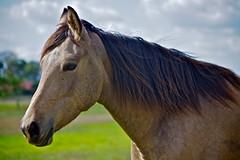 Flickr (Deb Jones1) Tags: horses horse beauty animals canon outdoors farm wildlife australia flickrduel debjones1