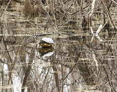 a turtle reflects on his home... (SereNole) Tags: reflection turtle pictureperfect photochallenge