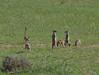 Meerkat or Suricate, Suricata suricatta, Erdmännchen (jaffles) Tags: africa nature animals southafrica tiere nationalpark wildlife natur olympus safari afrika np mammals kalahari ktp südafrika 2012 e5 sanparks kgalagadi kgalagaditransfrontierpark
