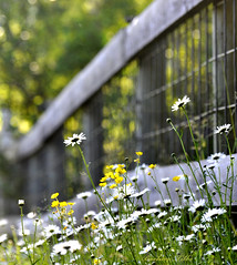 Summer Fence (misst.shs) Tags: summer daisies nikon dof bokeh fences wildflowers friday sandpoint buttercups northidaho colburn d90 fencefriday fenchfriday
