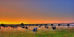 Cows in the morning mist.... / Explore (matt.koerner1) Tags: mist sunrise germany deutschland raw nebel cows pentax matthias sonnenaufgang khe niedersachsen lowersaxony krner sigma1020 k200d kaltenhof mattkoerner1