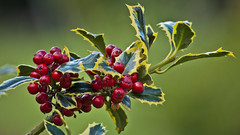 "Ilex aquifolium ""Argentea Marginata"" (silver-margined holly) (PriscillaBurcher) Tags: holly acebo ilexaquifolium christmasholly dsc0792 silvermarginedholly"