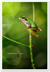 Copper-cheeked Frog (TOONMAN_blchin) Tags: frog thegalaxy coppercheekedfrog toonman mygearandme mygearandmepremium mygearandmebronze mygearandmesilver mygearandmegold mygearandmeplatinum mygearandmediamond dblringexcellence tplringexcellence eltringexcellence