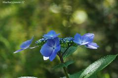 Hydrangea Macrophylla  #4 (bluehazyjunem) Tags: june rose garden end hydrangea herb 2012 tamron70300 macrophylla akao