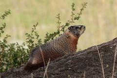 Marmot (Hammerchewer) Tags: yellowstone yellowbelliedmarmot