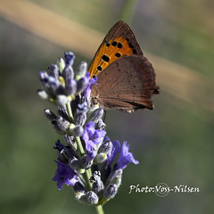 Butterfly_on_lavender (Voss-Nilsen) Tags: travel flowers plants plant flower macro nature closeup digital canon plante butterfly square botanical outdoors photography eos photo europa europe foto image natur lavender butterflies croatia planter makro mariposa eastern mariposas blomst squared blomster sommerfugl dyr kroatia hrvatska balkan dalmatia naturbilder lavendel nrbilde botanisk naturen digitalt lycaena papilon makrofoto pappilon sommerfugler naturbilde digitalfoto lycaenavirgaureae makrobilder makrobilde reisebilder kvadratisk virgaureae botanikk steuropa reiseliv reisebilde lavendelplante lavendelblomst vossnilsen