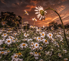 LAST CALL (wilsonaxpe) Tags: nottingham sunset daisies daisy redsky drama nottinghamshire sb900 wilsonaxpe dramaticflowerscapes